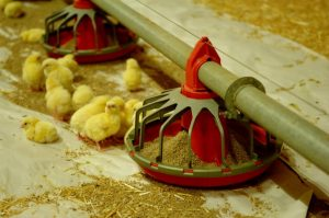 Chicken Meat Production - ACMF